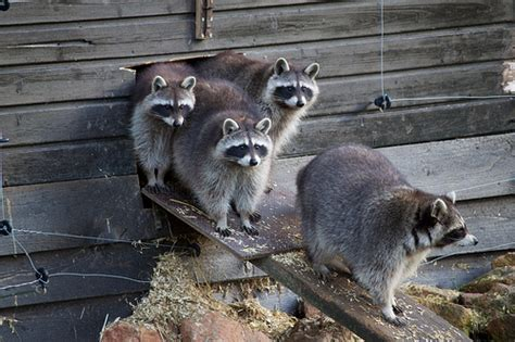 Has your Home been Hijacked by Raccoons? | Odd Job